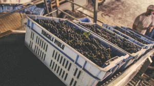 Miolo Harvest 2019
