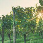 Baflour Wine at Hush Heath Estate