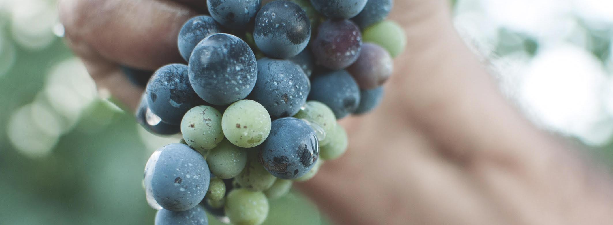 Santo Wines harvest