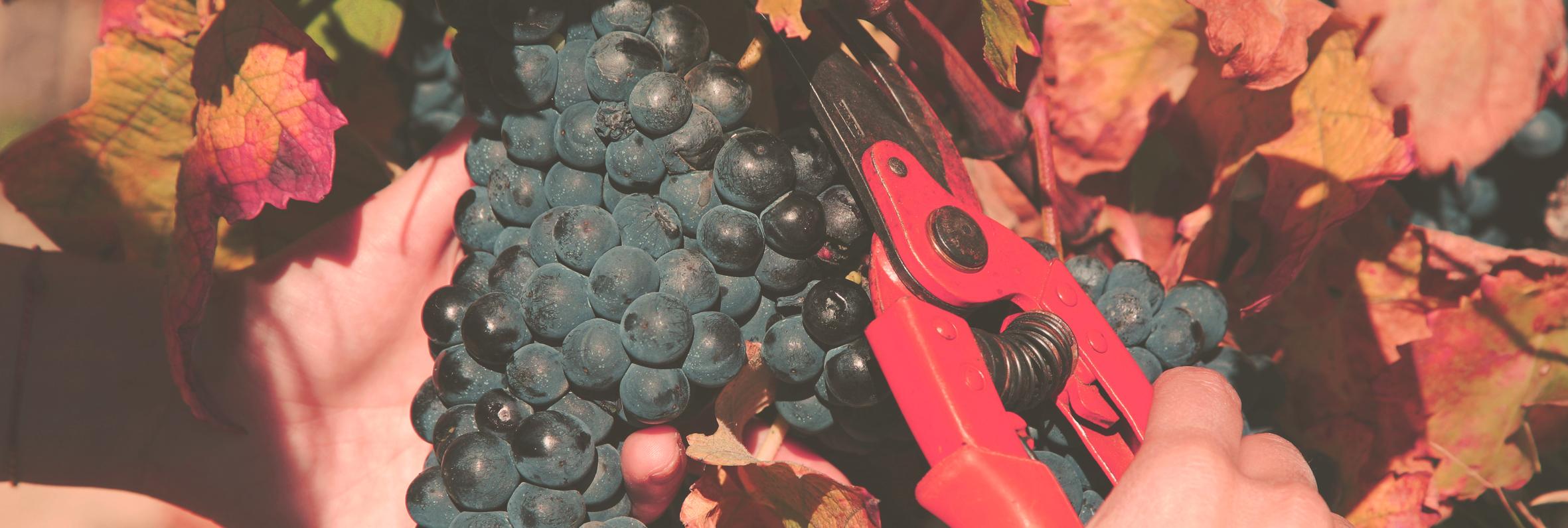 Navajas Spain harvest