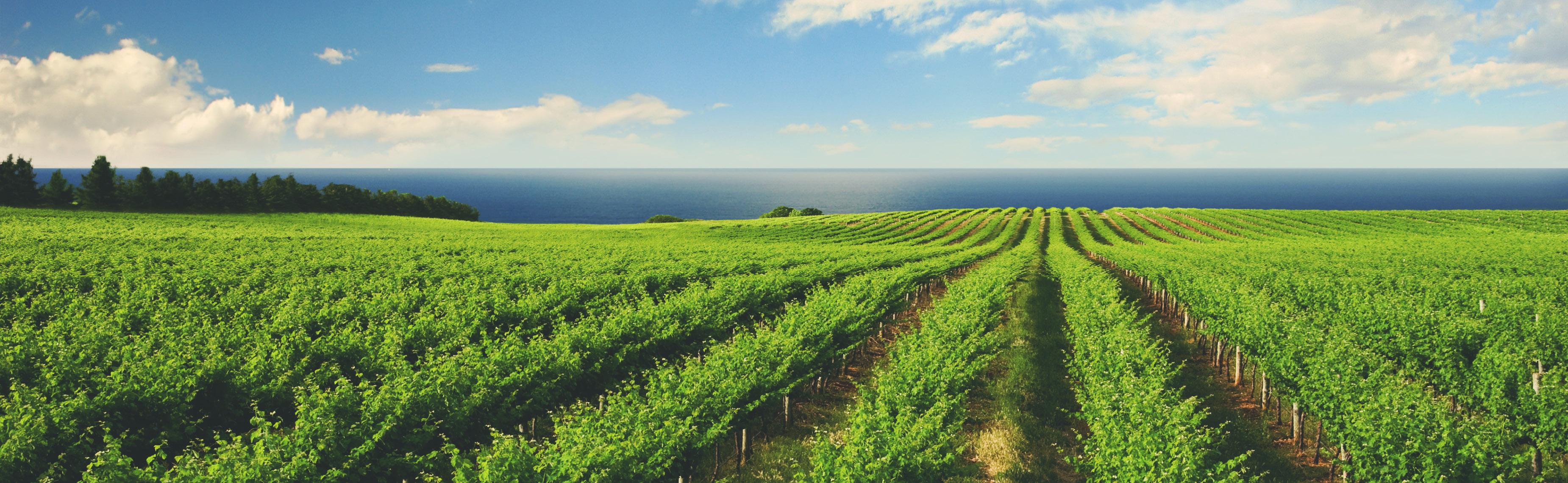 Litmus vineyard